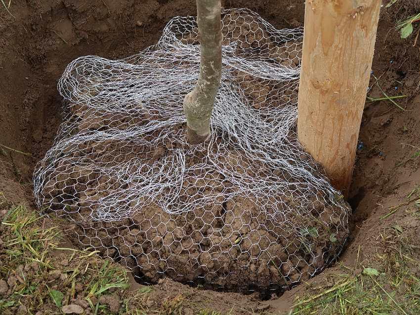 Baumpflanzung-Mausgitter3